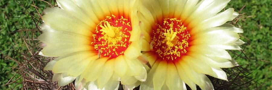 Astrophytum flor