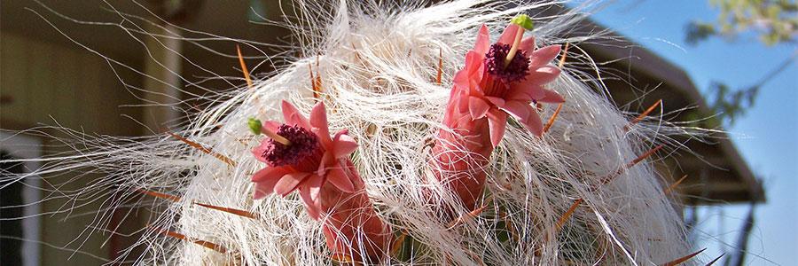 Cephalocereus-flor