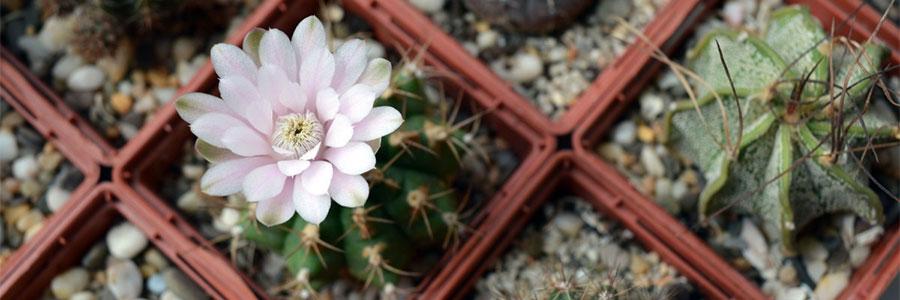 Gymnocalycium-flor
