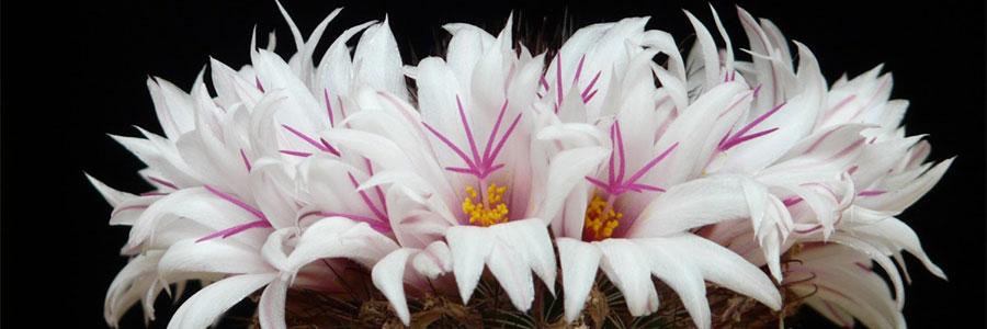 Mammillaria--flor