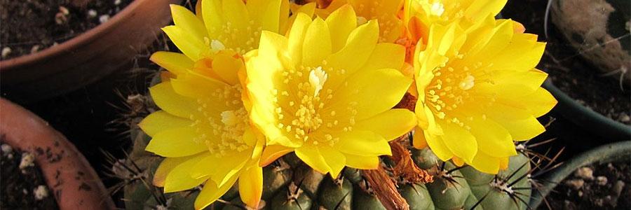 Matucana flor