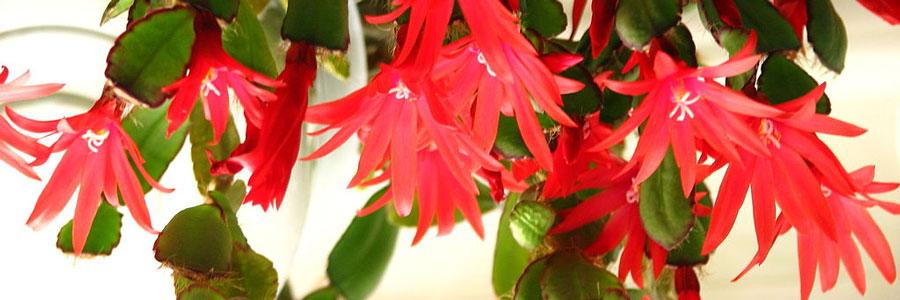 Rhipsalidopsis-flor