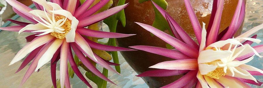 Selenicereus flor