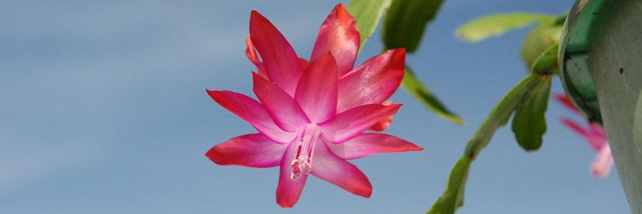 Zygocactus flor