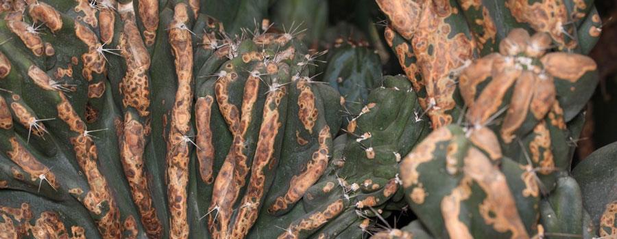 cactus amarillento