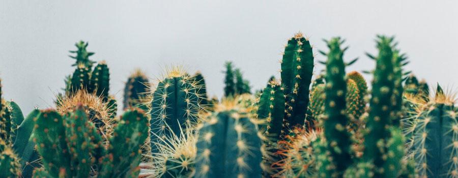 cactus-de-varios-tipos