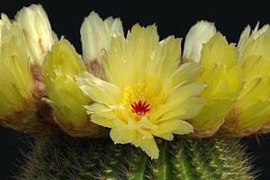 flor-de-un-cactus