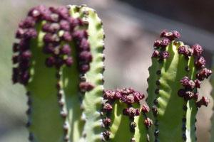 cactus venenosos