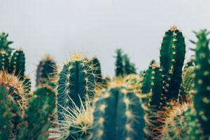 limpiar cactus