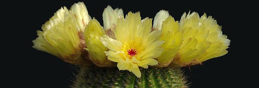 parodia-flor