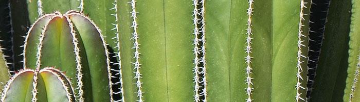 cactus tallo