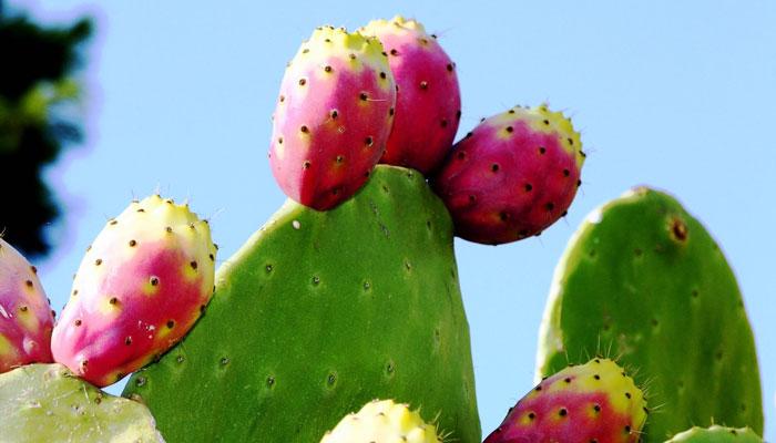 fruto del cactus